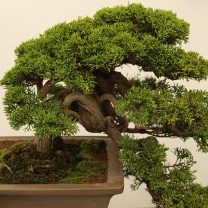 Where To Plant Bonsai Tree?