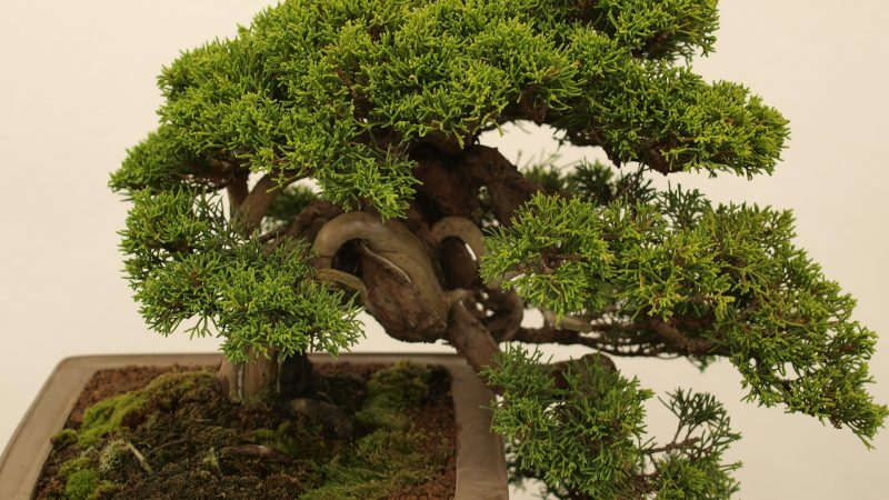 Where To Plant Bonsai Tree?
